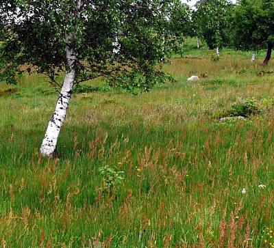 Photograph - Meadow With Birch Trees by Valerie Ornstein