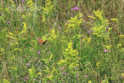 Photograph - Meadow With Monarch by Captain Debbie Ritter