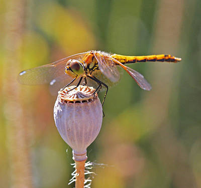 Poppy Wall Art - Photograph - Meadowhawk Female by Gary Wing