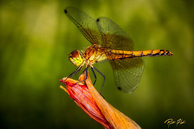 Photograph - Meadowhawk In The Late Afternoon. by Rikk Flohr