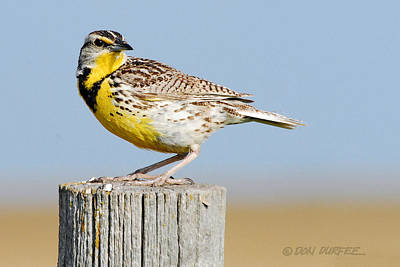 Photograph - Meadowlark 1 by Don Durfee