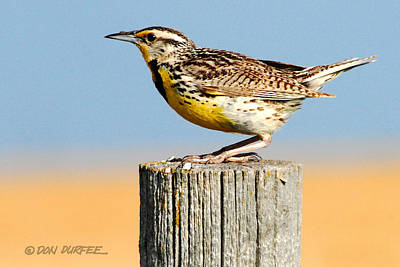Photograph - Meadowlark 2 by Don Durfee
