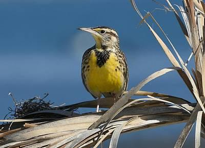 Meadowlark Photograph - Meadowlark Beauty by Fraida Gutovich