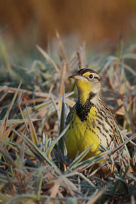 Photograph - Meadowlark by Craig Strand