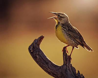 Photograph - Meadowlark by Erica Kinsella