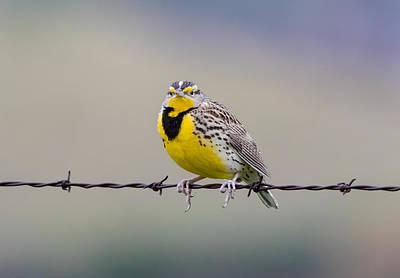 Meadowlark Wall Art - Photograph - Meadowlark Stare by Marc Crumpler