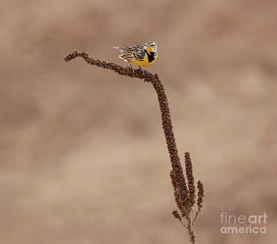 Photograph - Meadowlark Upon The Common Mullein by Elizabeth Winter