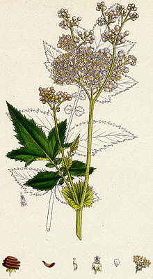 Meadowsweet Or Mead Wort Art Print by Unknown