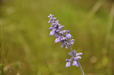 Photograph - Mealy Sage by Frank Madia