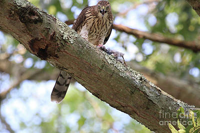 Photograph - Mean Hawk At Dinner Time by Steven Spak