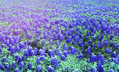 Photograph - Meandering Bluebonnets by Judy Vincent