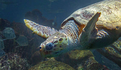 Reptiles Royalty-Free and Rights-Managed Images - Meandering Green Sea Turtle by Betsy Knapp