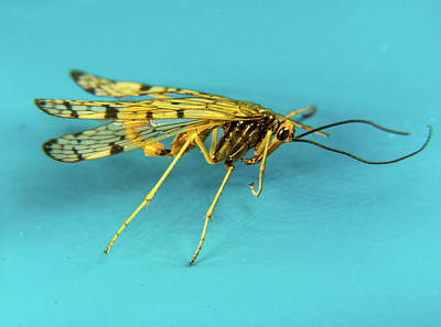 Photograph - Mecoptera Specimen On Blue Background by Douglas Barnett