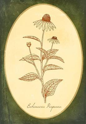 Medicinal Herb Echinacea Art Print by Little Bunny Sunshine