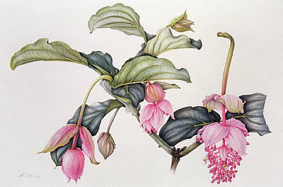 Pink Flower Drawing - Medinilla Magnifica by Margaret Ann Eden