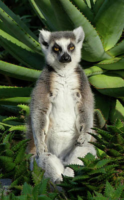 Photograph - Meditating Ring-tailed Lemur by Margaret Saheed