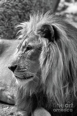Photograph - Meditative Lion In Black And White by Michelle Meenawong