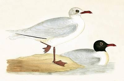 Seagull Drawing - Mediterranean Black Headed Gull by English School