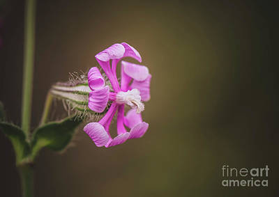 Photograph - Mediterranean Catchfly, Silene Colorata Flowering by Perry Van Munster