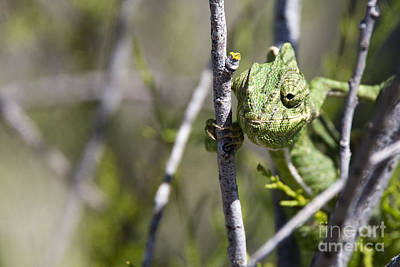 Photograph - Mediterranean Chameleon by Tony Mills