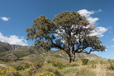 Photograph - Mediterranean Landscape With Holly Oak Or Holm Oak, Quercus Ilex by Perry Van Munster
