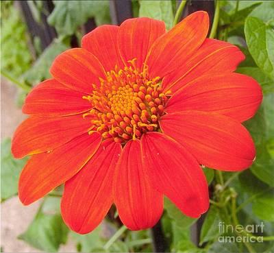 Photograph - Medium Orange Daliha by Rod Ismay
