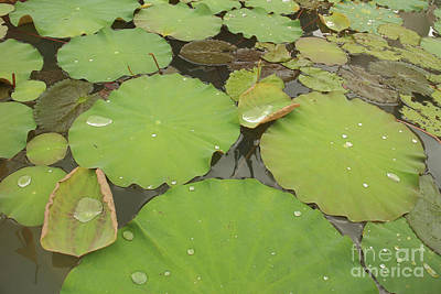 Photograph - Medium Shot Of Water Lillies With Large Droplets Floating In A P by Jason Rosette