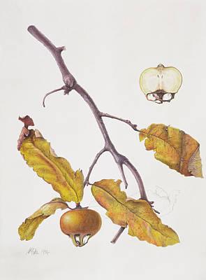 Fruit Tree Art Painting - Medlar by Margaret Ann Eden