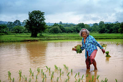 Lee Craker Royalty-Free and Rights-Managed Images - Mee, Planting Rice by Hand  by Lee Craker