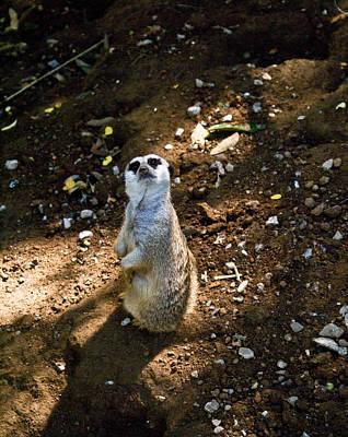 Photograph - Meerkat     Say What by Douglas Barnett