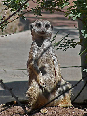 Meerkat Wall Art - Photograph - Meerkat 2 by Ernie Echols
