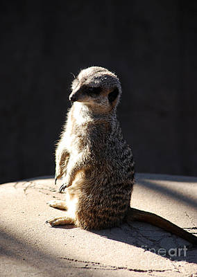 Photograph - Meerkat 20120117_193 by Tina Hopkins