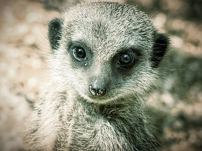 Photograph - Meerkat Animal Portrait by Chris Boulton