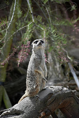 Photograph - Meerkat Attention by Gabriella Szekely