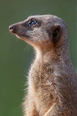 Meerkat Wall Art - Photograph - Meerkat Centurion by Julie L Hoddinott
