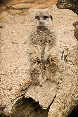 Photograph - Meerkat by Chris Boulton