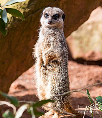 Photograph - Meerkat by Colin Rayner