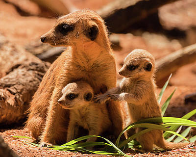 Photograph - Meerkat Family by Dawn Currie