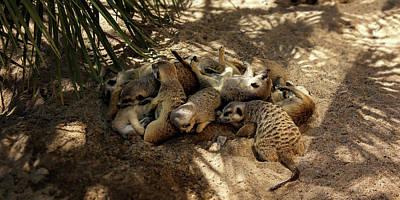 Meerkat Family Sleeping In The Shadow Art Print