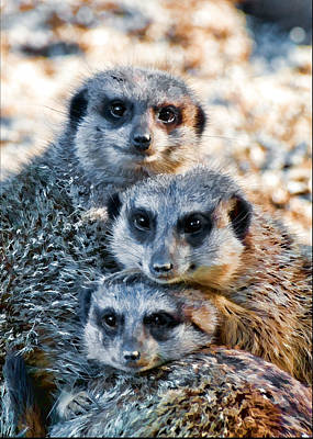 Photograph - Meerkat Family's Bright Eyes by Ginger Wakem