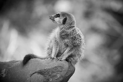 Photograph - Meerkat II by Stewart Scott
