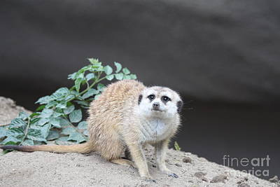 Meerkat Wall Art - Photograph - Meerkat by John Telfer