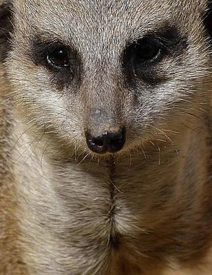 Photograph - Meerkat Looking At You by Nadalyn Larsen