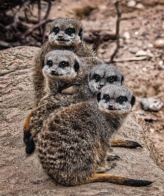 Photograph - Meerkat Mob by Nick Bywater