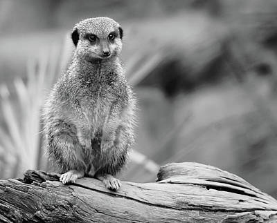 Meerkat Wall Art - Photograph - Meerkat Mount by Martin Newman