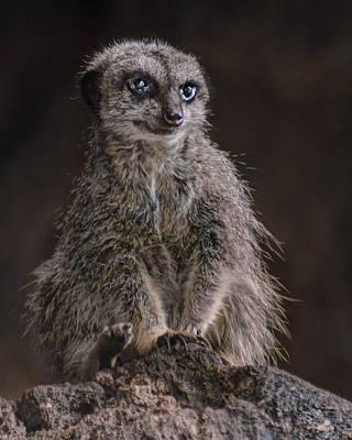 Photograph - Meerkat by Nikolyn McDonald