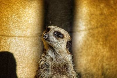 Photograph - Meerkat Nose.  by Joseph Caban