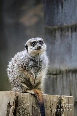 Photograph - Meerkat On A Stump by Suzanne Luft