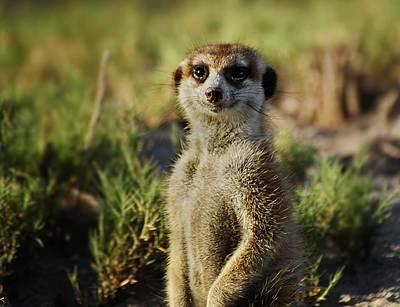 Meerkat Portrait Art Print