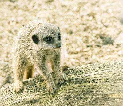Photograph - Meerkat - Portrait by Chris Boulton